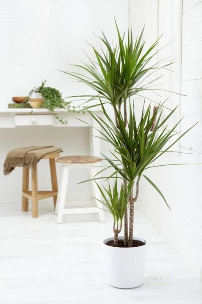 pflanze mit großen blättern drachenbaum weißer blumentopf