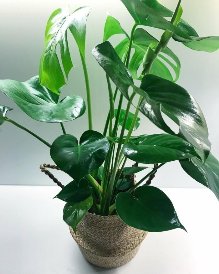 pflanze mit großen blättern frische dekoideen