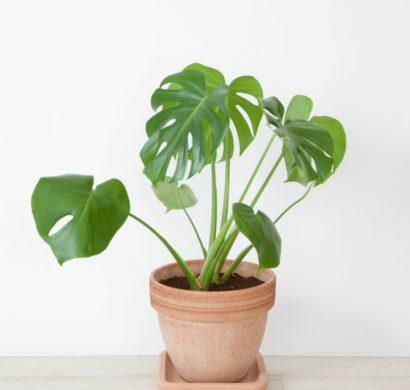 Pflanze Mit Grossen Blattern Ein Herrlicher Hingucker Zu Hause