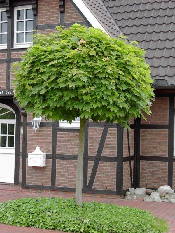 Acer platanoides 'Globosum' hausbaum kugelahorn