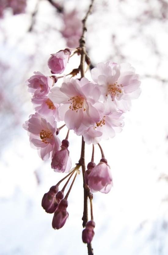 Blumen Bedeutung Feng Shui blühender Kirschzweig Vollkommenheit der Natur