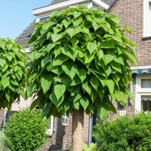 Catalpa bignoides 'Nana' kugeltrommelbaum vorgarten