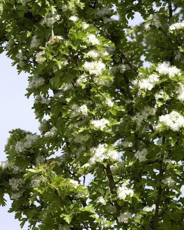 Crataegus monogyna 'Stricta' hausbaum im kleinen garten