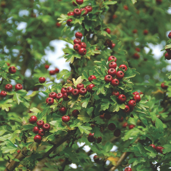 Crataegus monogyna 'Stricta' hausbaum rote beeren