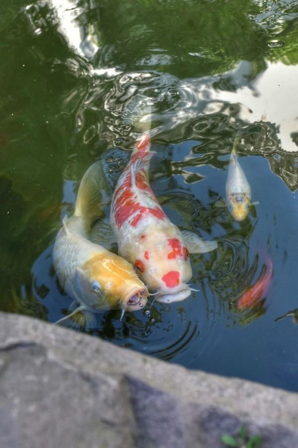 Ein Koi-Teich im Garten