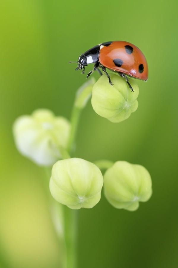 Glücksbringer Marienkäfer im Garten Symbol