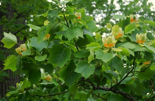 Liriodendron tulipifera tulpenbaum hausbaum