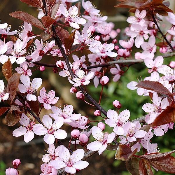 Prunus cerasifera 'Nigra' blutpflaume hausbaum blüten