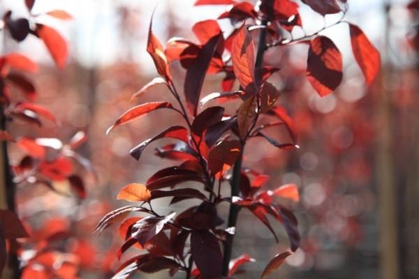Prunus cerasifera 'Nigra' blutpflaume rote blätter hausbaum