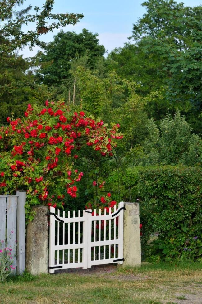 Romantik pur weißes Gartentor Holz rote Rosen visueller Kontrast