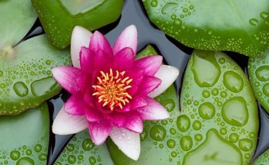Seerose Feng Shui Blumen Bedeutung ursprüngliche Schönheit der Natur