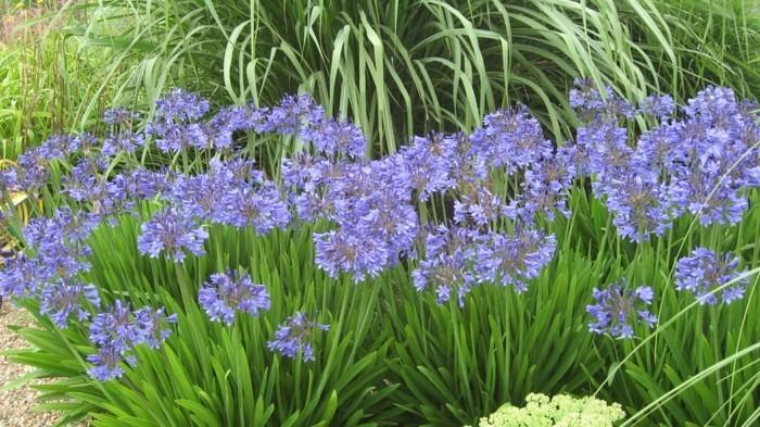 Starburst Agapanthus blau als beeteinfassung idee
