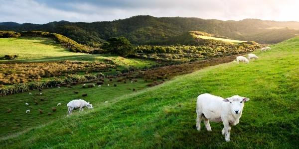 Ungewöhnlicher Urlaubsort Neuseeland Natur pur Schafe