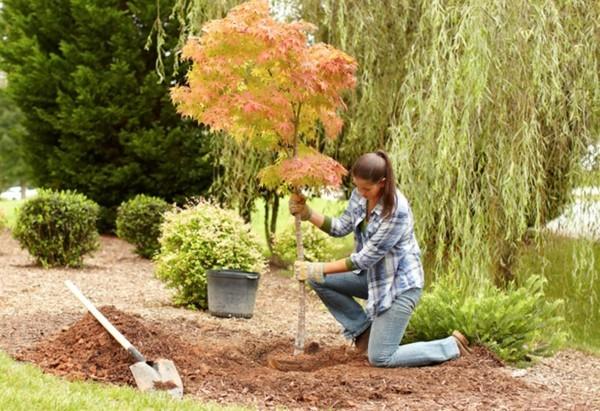 ahorn hausbaum pflanzen gartengestaltung ideen