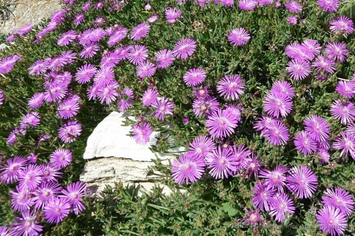 delosperma ecklonis lila blüten sonne bodendecker pflanzen