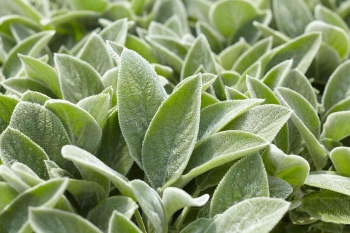 eselsohr immergrüne bodendecker pflanzen