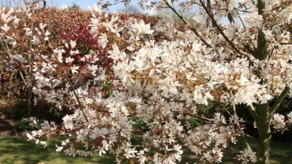 felsenbirne hausbaum im garten schöne blüten