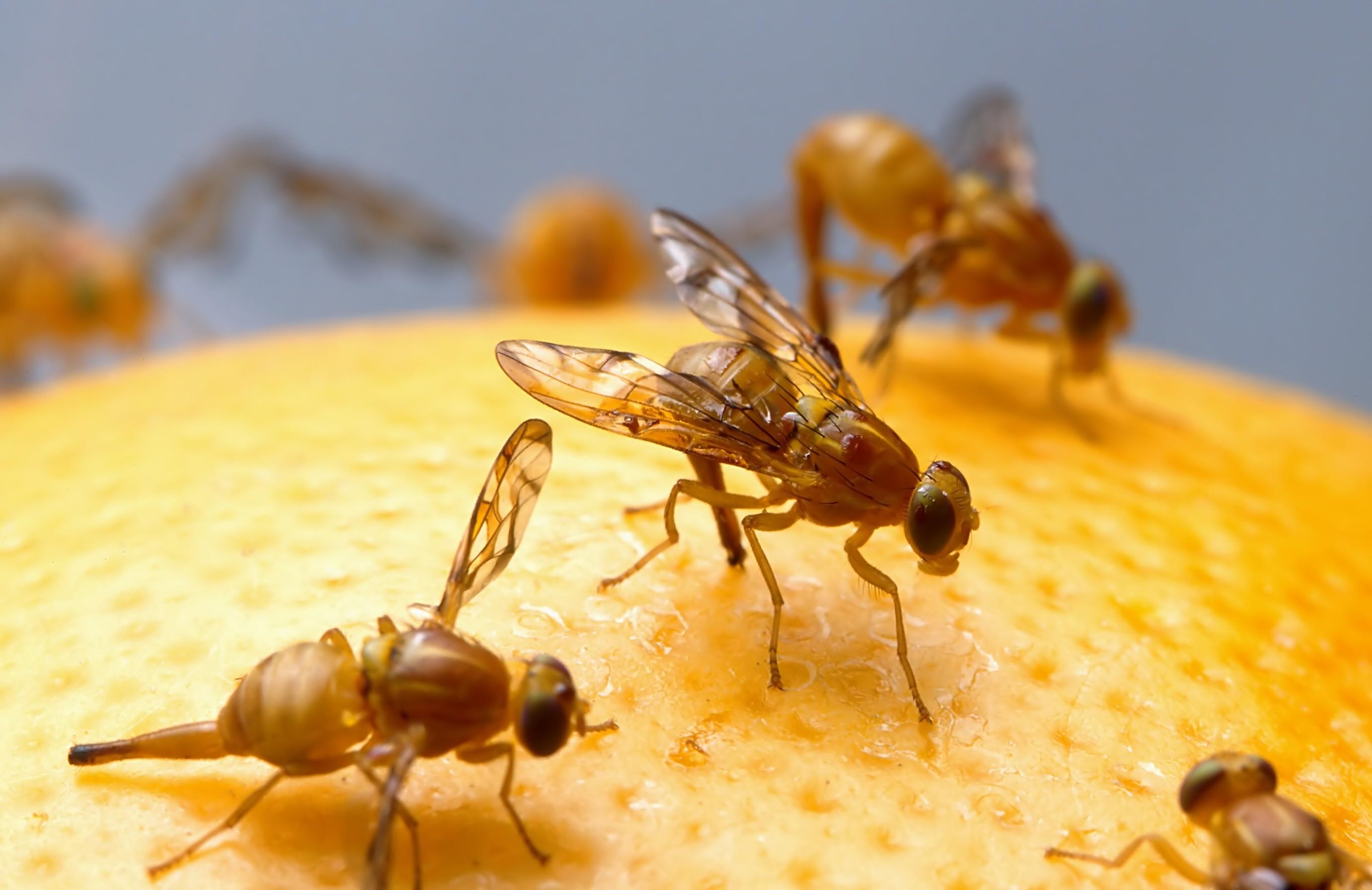 Fruchtfliegenfalle selber machen Die lästigen