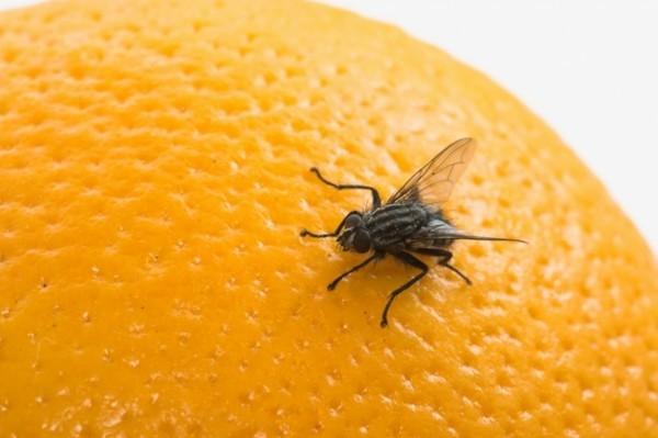 fruchtfliegenfalle selber machen fruchtfliege auf der orange
