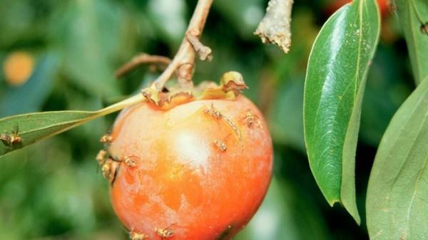 fruchtfliegenfalle selber machen mit weintrauben hefe