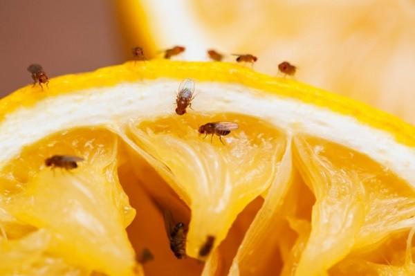 fruchtfliegenfalle selber machen fruchtfliegen orange