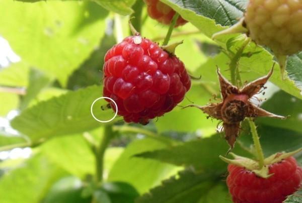 fruchtfliegenfalle selbst machen reife himbeeren im garten
