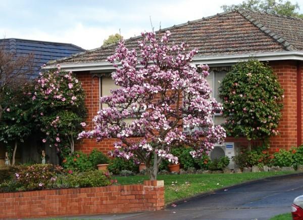 gartengestaltung hausbaum magnolie pink