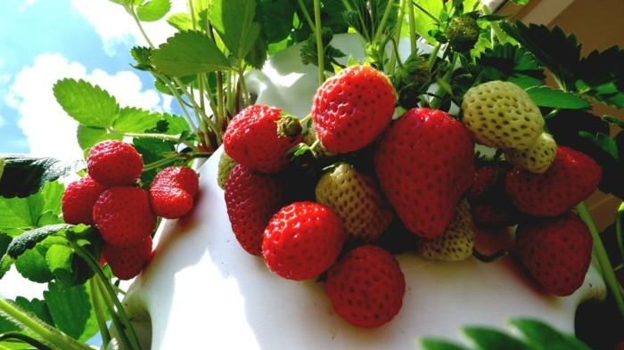gemuesegarten anlegen froheernte balkon ideen gartengestaltung erdbeeren hochbeeren