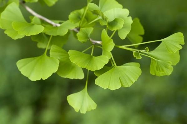 ginkgo hausbaum neue baumarten