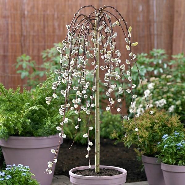 hängende weidenkätzchen hausbaumfür kleine gärten