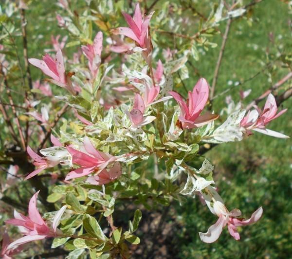 harlekinweide Salix integra 'Hakuru Niskishi' hausbaum zierstrauch