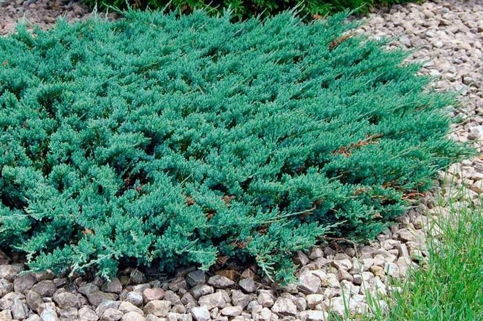 immergrüne bodendecker juniperus horizontales kriech wacholder