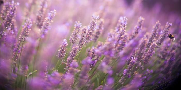 lavendel beeteinfassung ideen duftpflanzen
