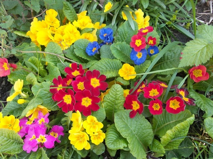 primeln als beeteinfassung mehrjährig bunte blüten