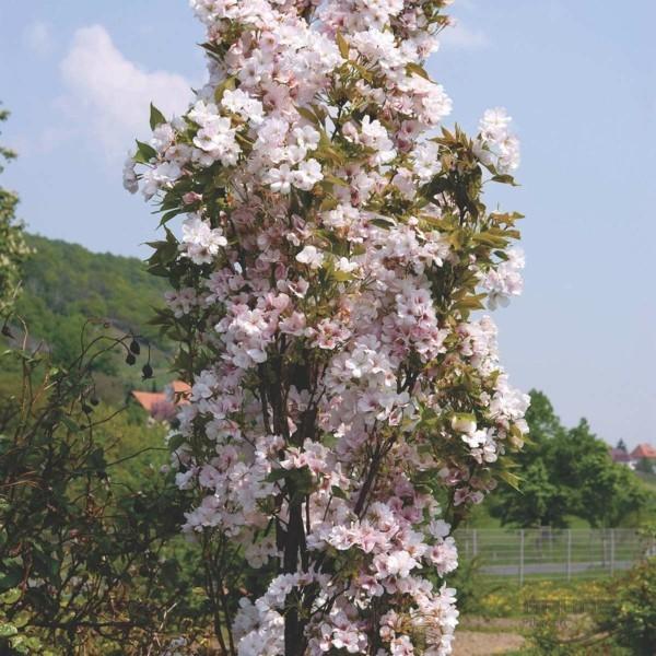 säulen zierkirsche hausbaum idee