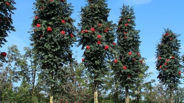 säulen eberesche sorbus aucuparia fastigiata hausbaum