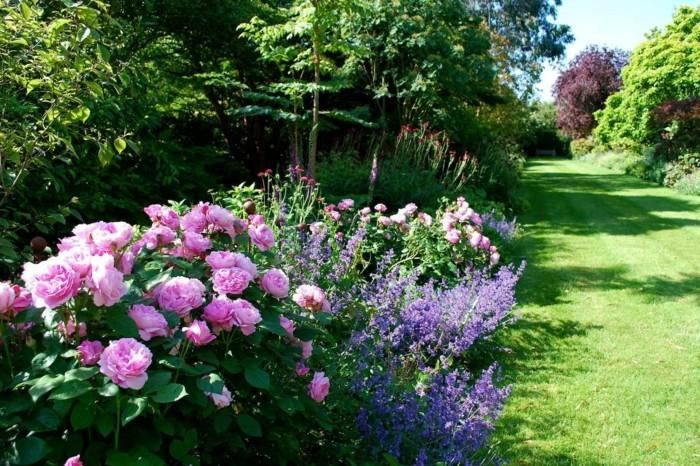 schöne rosen lavendel englische rasenkante