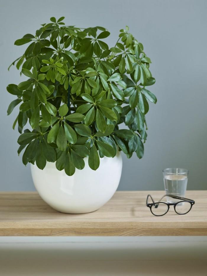 schefflera pflege dunkelgrüne blätter weißer pflanzenbehälter