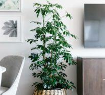 Die Schefflera Pflege ist nicht schwer, doch wunderschön ist diese Zimmerpflanze!