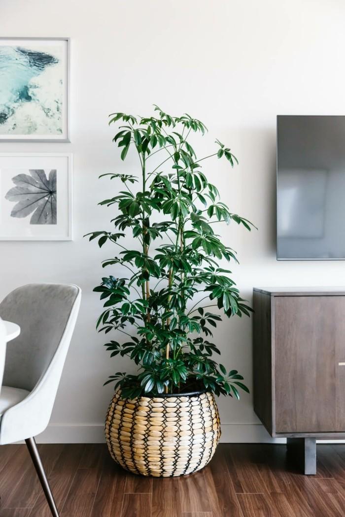 die schefflera pflege ist nicht schwer doch wundersch n ist diese zimmerpflanze. Black Bedroom Furniture Sets. Home Design Ideas
