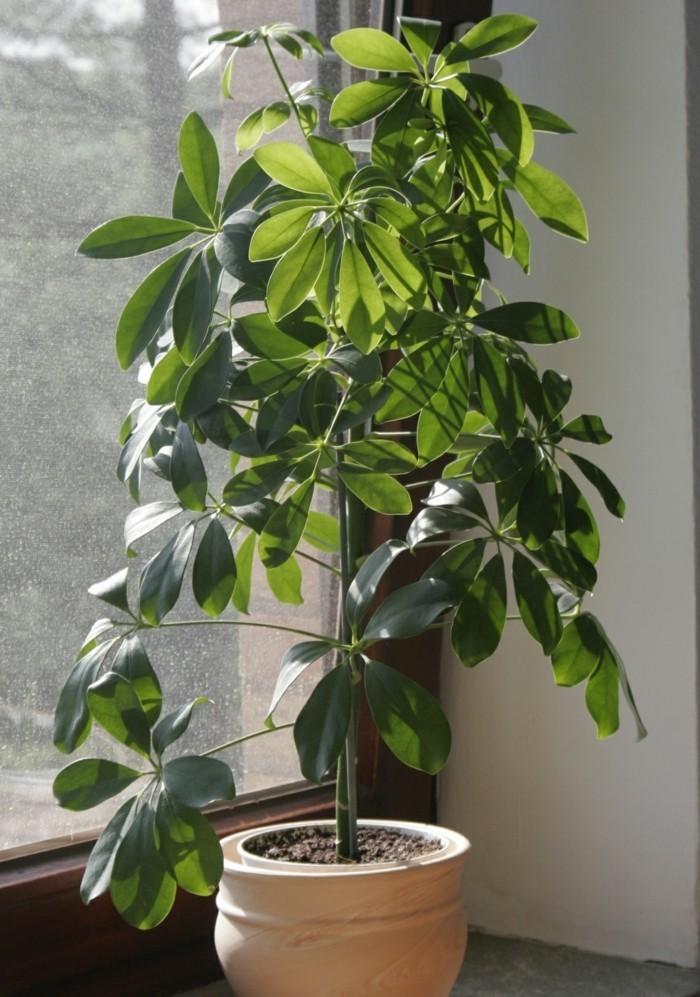 schefflera pflege zimmerpflanze schöner blumentopf
