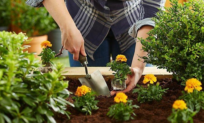 studentenblumen beeteinfassung mit pflanzen und blumen
