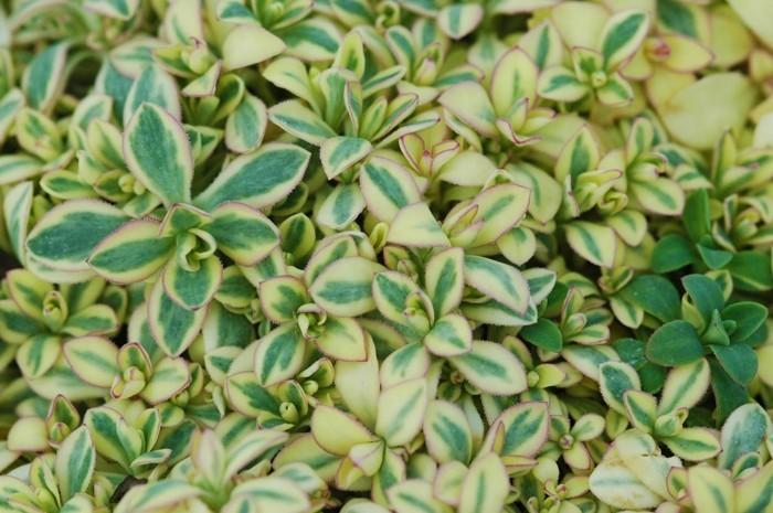 sukkulenten immergrüne bodendecker garten