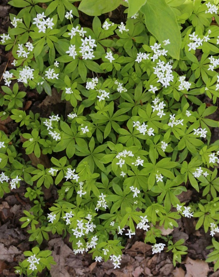 waldmeister galium odoratum schatten bodendecker pflanzen