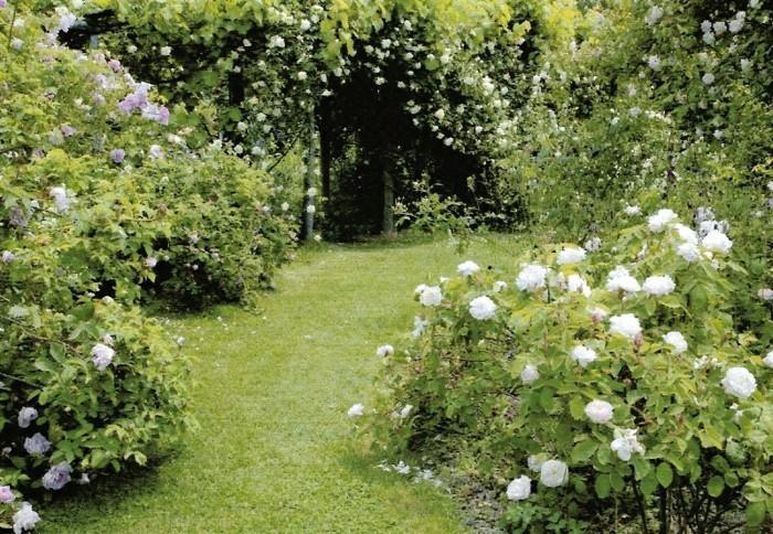 weiße rosen englische rasenkante beeteinfassung