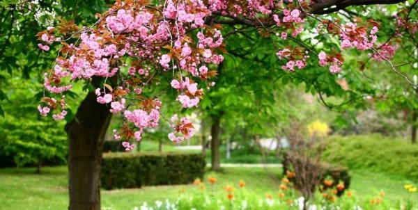zierkirsche hausbaum pflanzen gartengestaltung