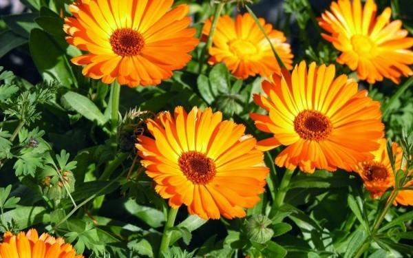 bienenfreundliche pflanzen ringelblumen bienenweide