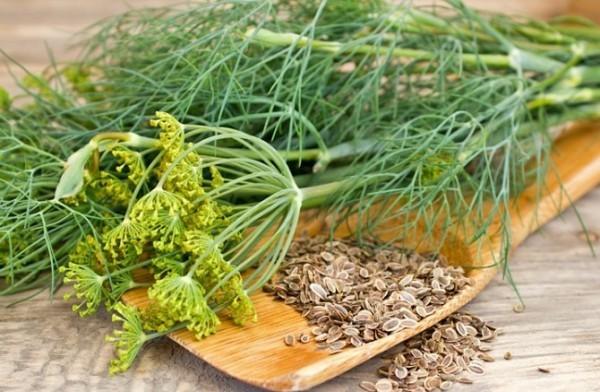 Dill Küchengewürz Heilpflanze grüne Blätter