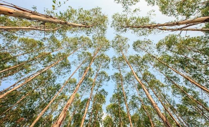 Eukalyptus Bäume widerstandsfähiges Holz gewinnen