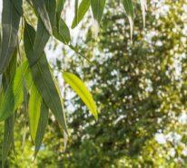 Eukalyptus – nützliche Heilpflanze und auffällige Deko